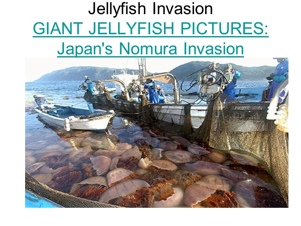 Giant jellyfish invasion