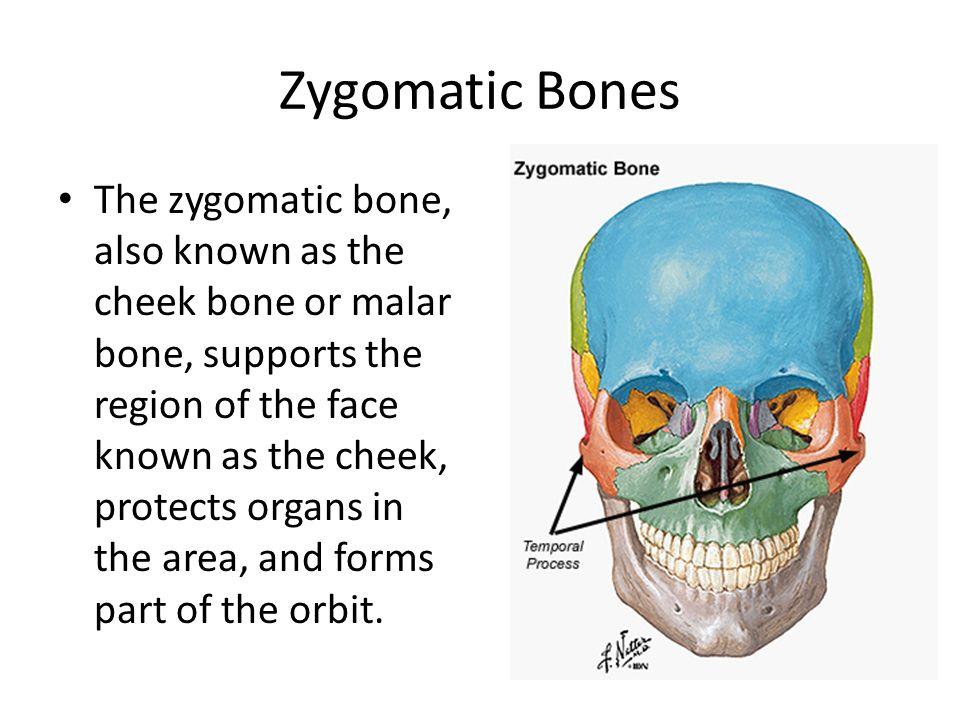Cheek Bones Anatomy Choice Image - human body anatomy