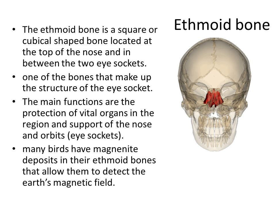 the skull facial: cranial: mandible maxillae (2) frontal bone, Sphenoid