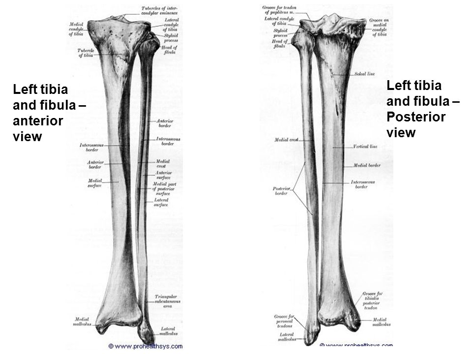 Tibia And Fibula Choice Image - human anatomy organs diagram