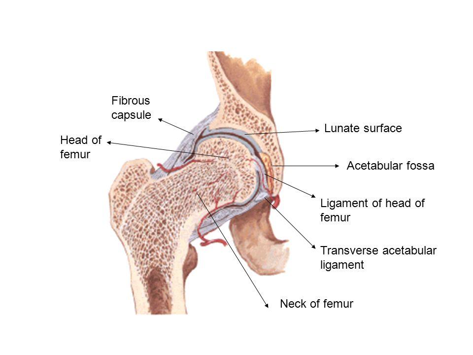Fibrous Capsule Giftsforsubs