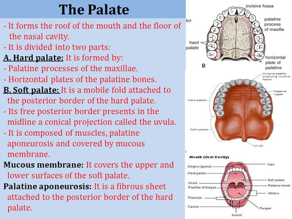 Wonderful The Palate   It Forms The Roof Of The Mouth And The Floor Of The Nasal