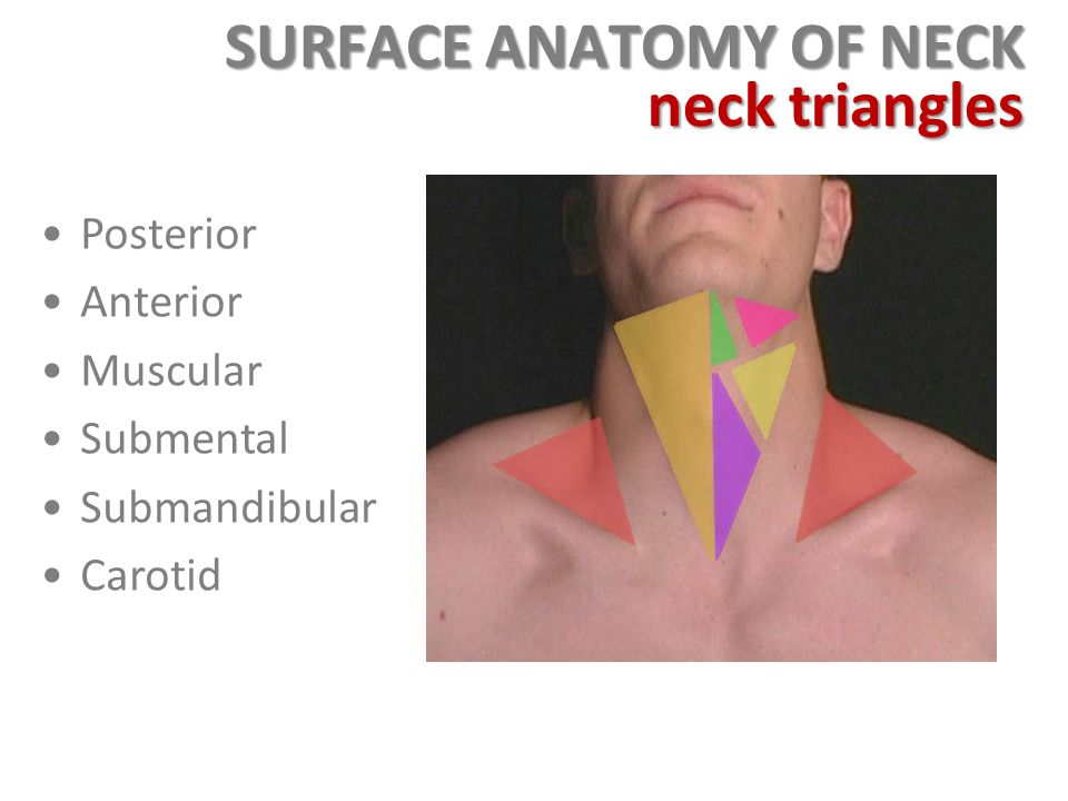 Perfect Anatomy Of Neck Triangles Adornment - Human Anatomy Images ...