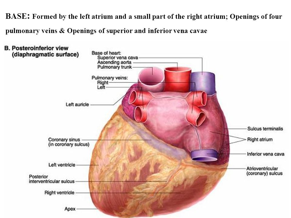 BASE: Formed by the left atrium and a small part of the right atrium; Openings of four pulmonary veins & Openings of superior and inferior vena cavae