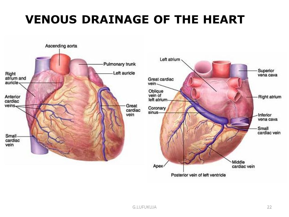 VENOUS DRAINAGE OF THE HEART