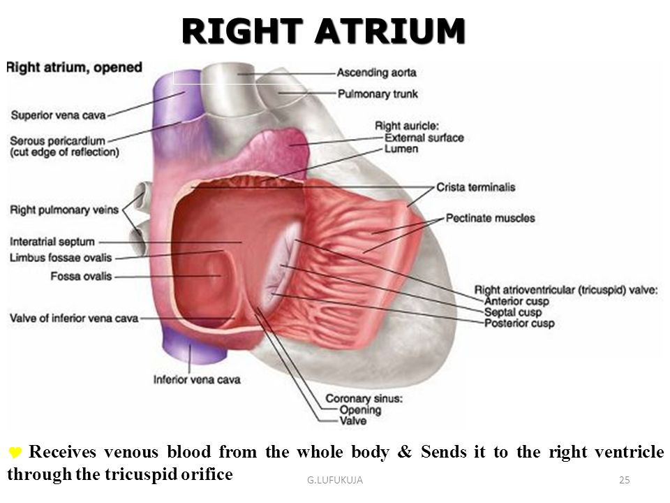RIGHT ATRIUM Receives venous blood from the whole body & Sends it to the right ventricle through the tricuspid orifice.