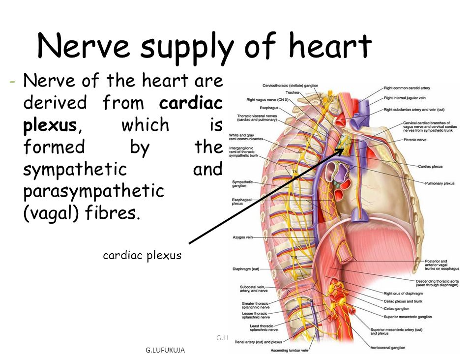 Nerve supply of heart Nerve of the heart are derived from cardiac plexus, which is formed by the sympathetic and parasympathetic (vagal) fibres.
