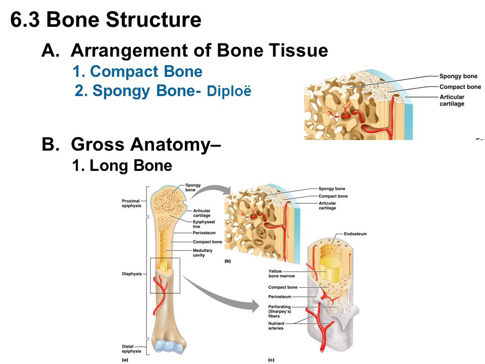 Gross anatomy of bones