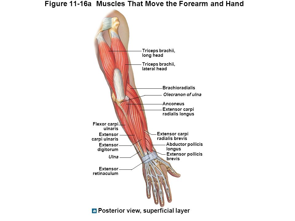 Perfect Volar Forearm Anatomy Composition - Anatomy And Physiology ...