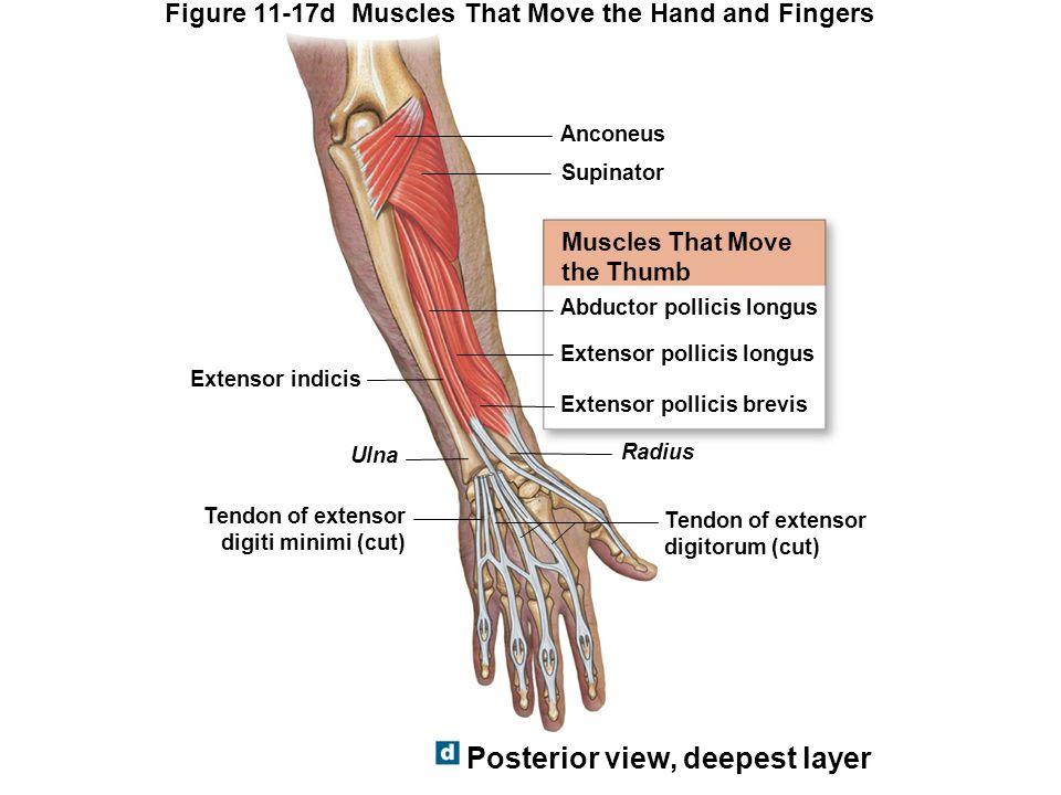 Ausgezeichnet Hand Nerven Anatomie Bilder - Anatomie Ideen - finotti ...