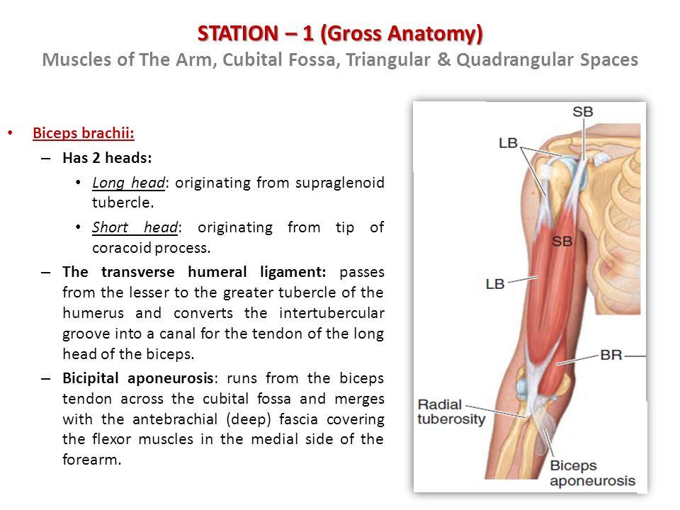 Anatomy Of Cubital Fossa Image collections - human body anatomy