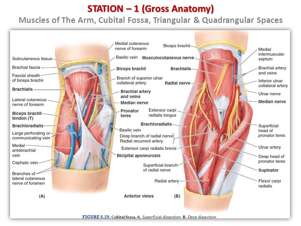 Arm vein anatomy iv