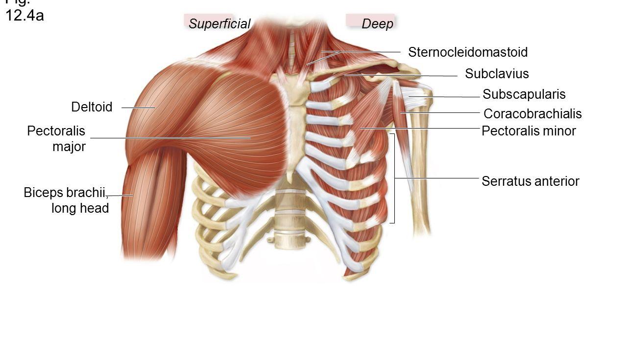 Berühmt Anatomie Deltoid Fotos - Anatomie Von Menschlichen ...