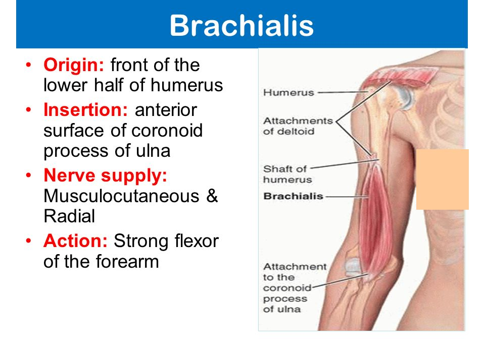 Muscles of the Arm and Cubital Fossa - ppt video online ...