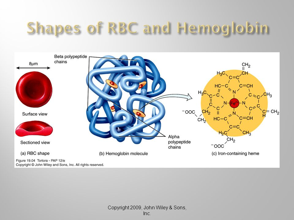 rafael the red blood cell Red blood cells cannot divide or replicate like other bodily cells they cannot independently synthesize proteins the blood's red color is due to the spectral properties of the hemic iron ions in hemoglobin each human red blood cell contains approximately 270 million hemoglobin biomolecules, each carrying four heme groups to which.
