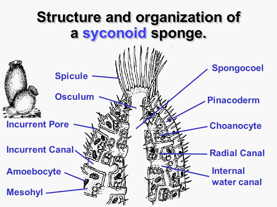 canal system in sponges pdf