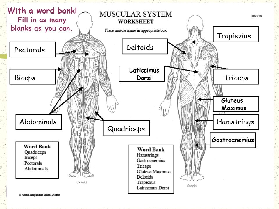 HOW GOOD ARE YOU No word bank Fill in as many blanks as you – Muscular System Worksheet