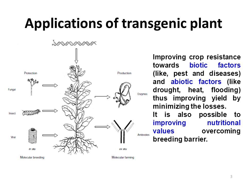 transgenic plants New methods of gene transfer have made it possible to transfer genes to  unrelated species, thus eliminating some of the difficulties of conventional  methods of.