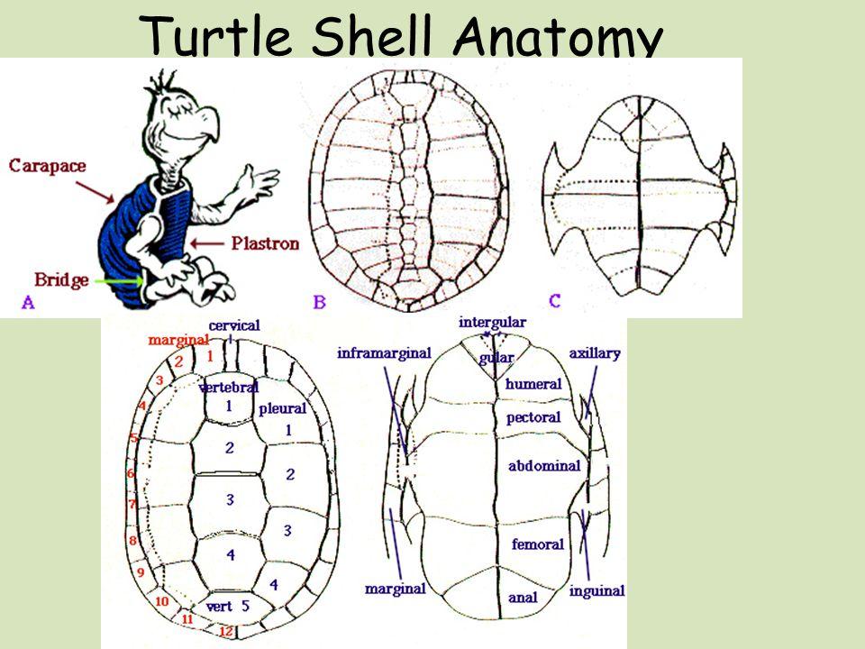 Sulcata tortoise anatomy