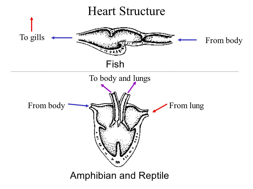 Amphibians and reptiles ppt video online download 5 heart structure fish amphibian ccuart Gallery
