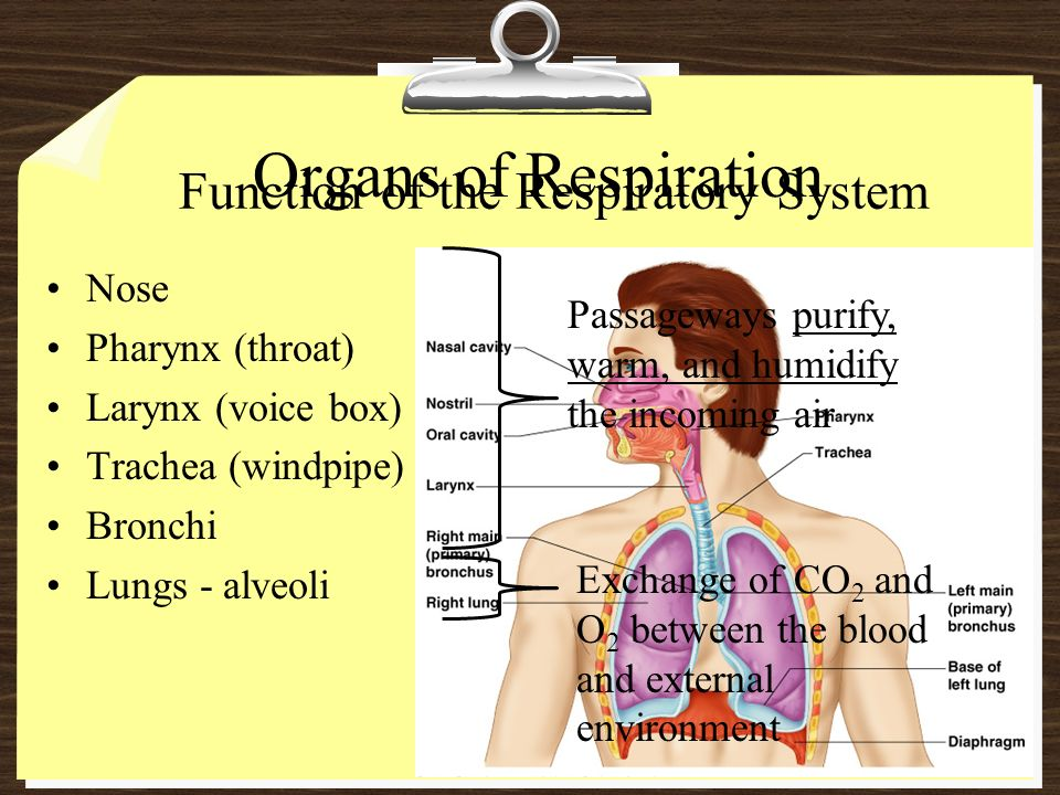 Organs Of Respiration Function Of The Respiratory System Nose Ppt