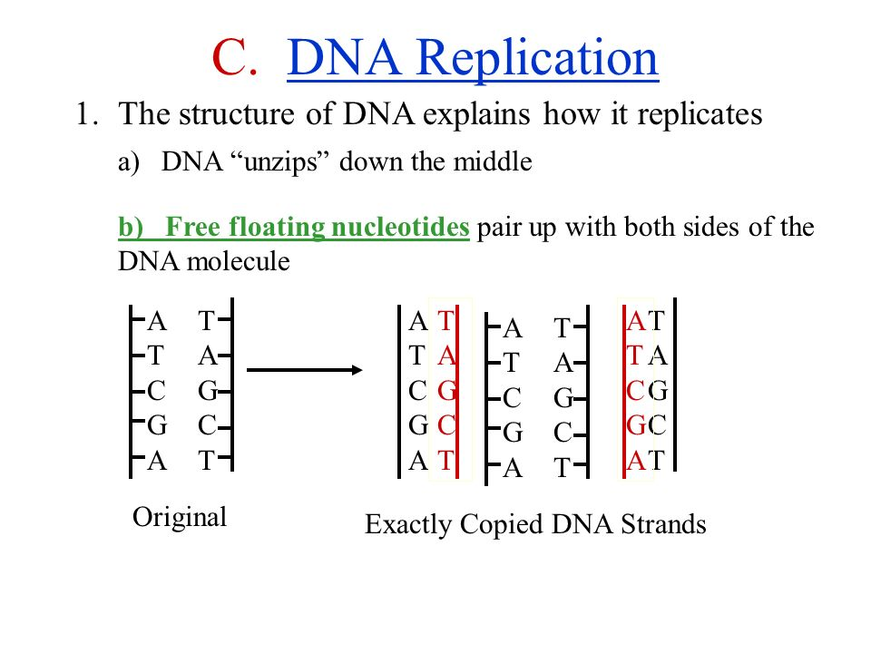 Unit 12 Worksheet Structure Of Dna And Replication - The Best and ...