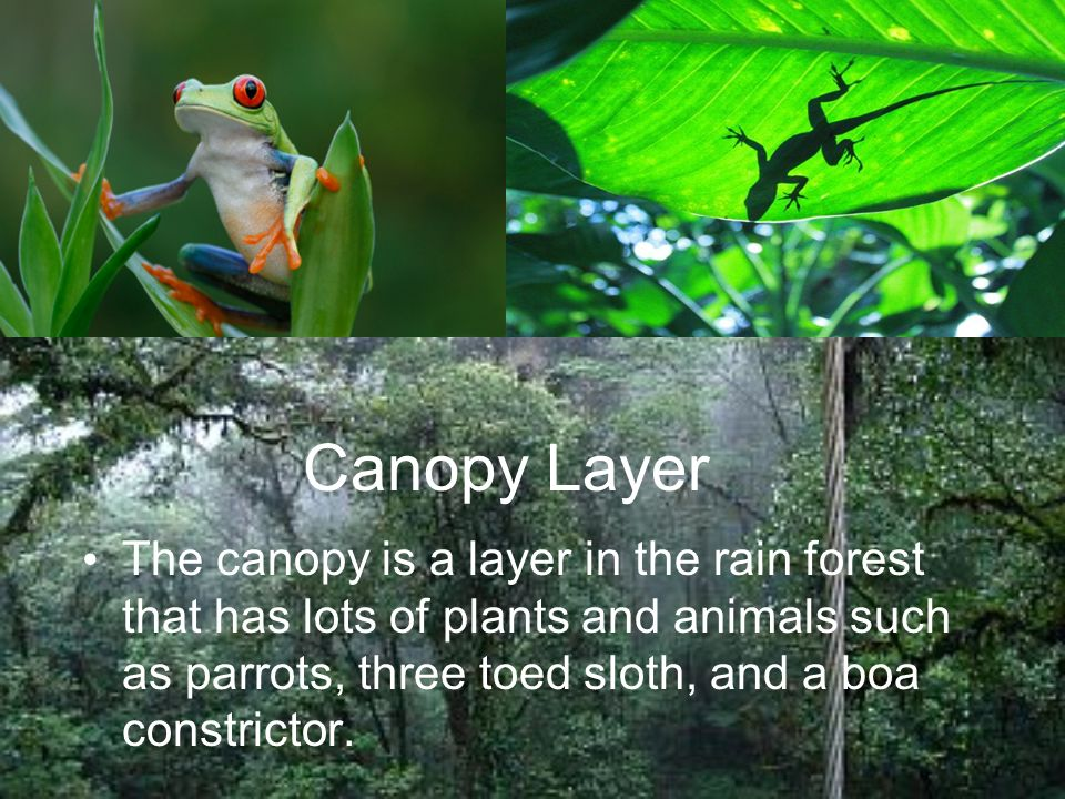 6 Canopy Layer The Is A In Rain Forest That Has Lots Of Plants And Animals Such As Parrots Three Toed Sloth Boa Constrictor