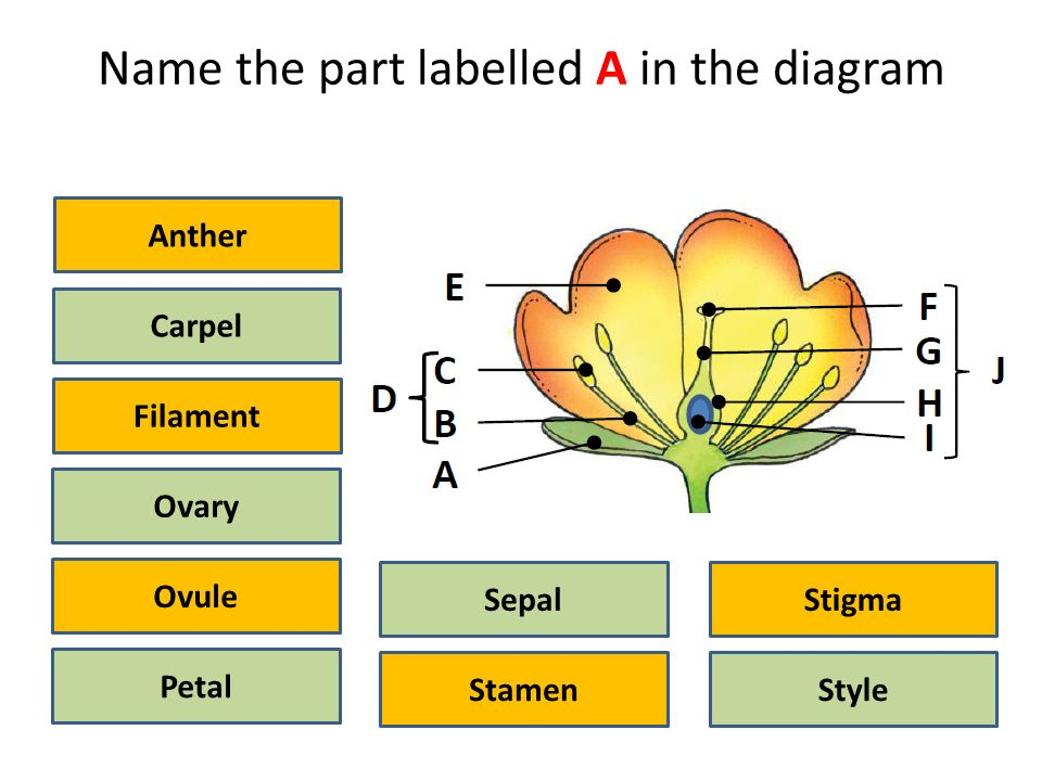 Flower structure idiagram activity ppt video online download name the part labelled a in the diagram ccuart Image collections