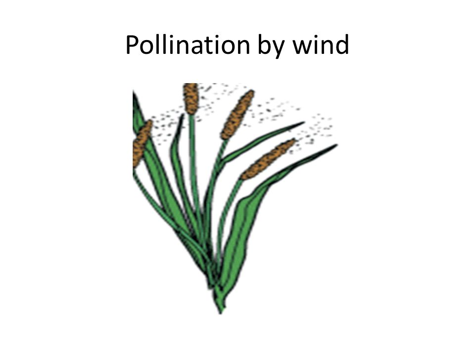 wind pollination Pollen is nature's way of reproducing in the plant world -- as anyone with allergies knows wind-pollinated trees, which are especially bothersome to those with pollen sensitivity, must spend a.