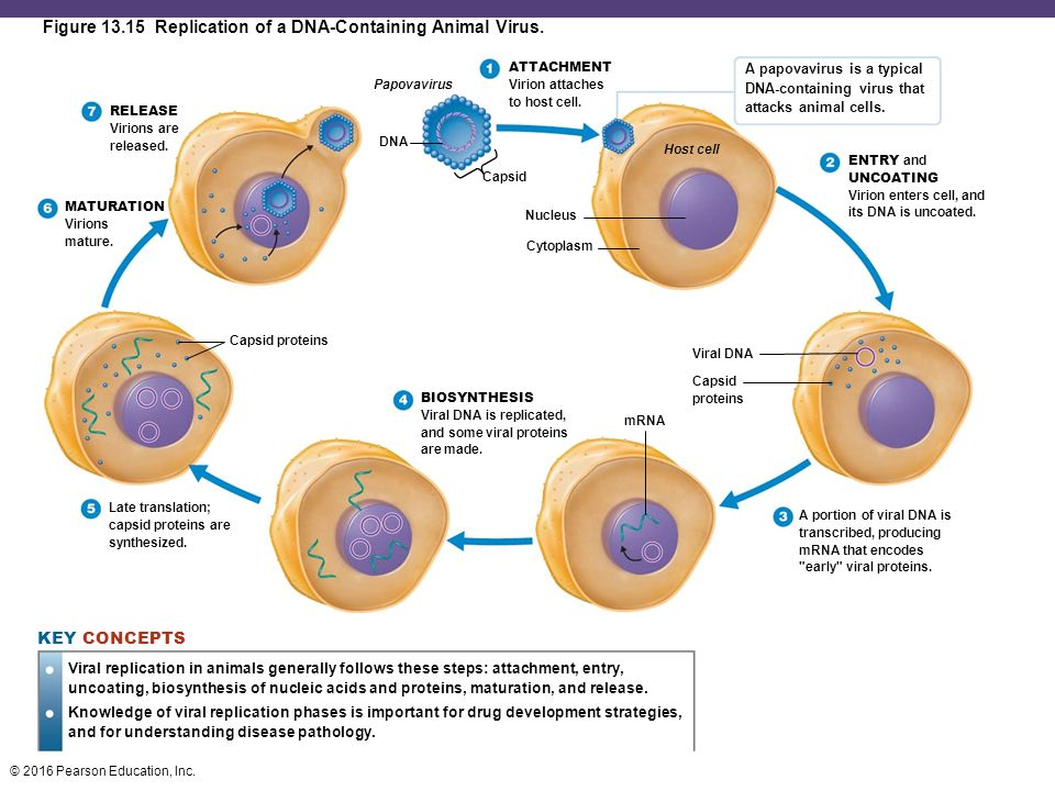 Animal cell diagram diagram quizlet 9558146 kenhtruyenfo nutrition exam 3 flashcards and study sets quizlet ccuart Gallery