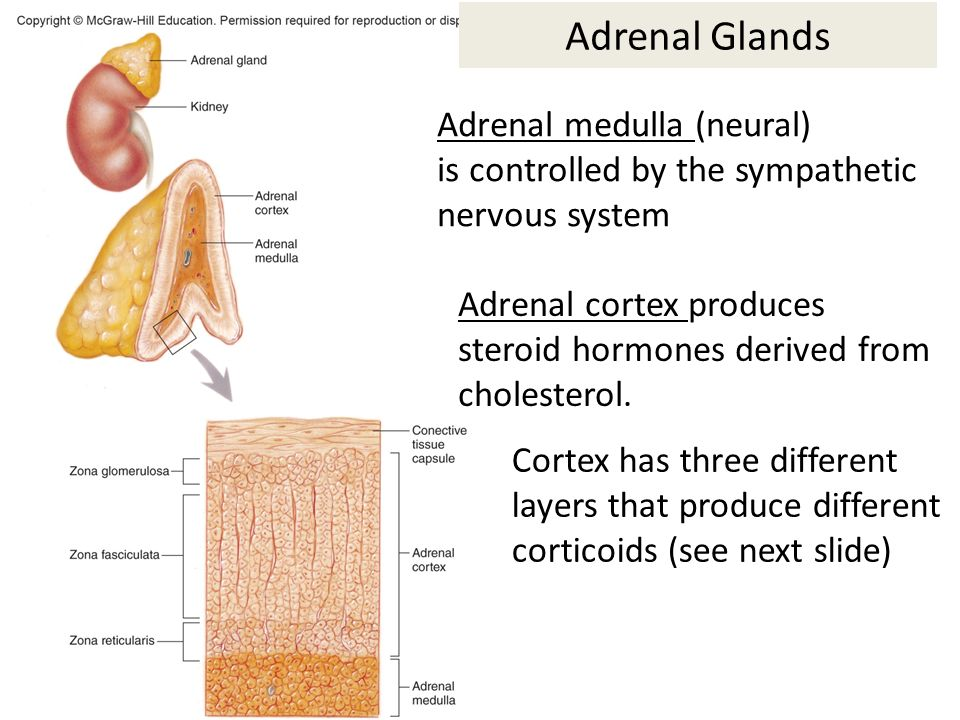 relationship between sympathetic nervous system and adrenal medulla