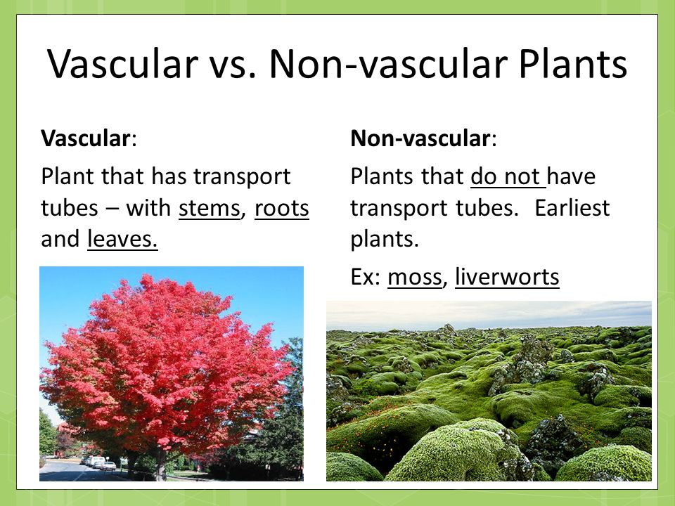 vascular plants Non-vascular plants include mosses, liverworts, and hornworts also called bryophytes, these plants have no vascular tissue, flowers, or seeds.