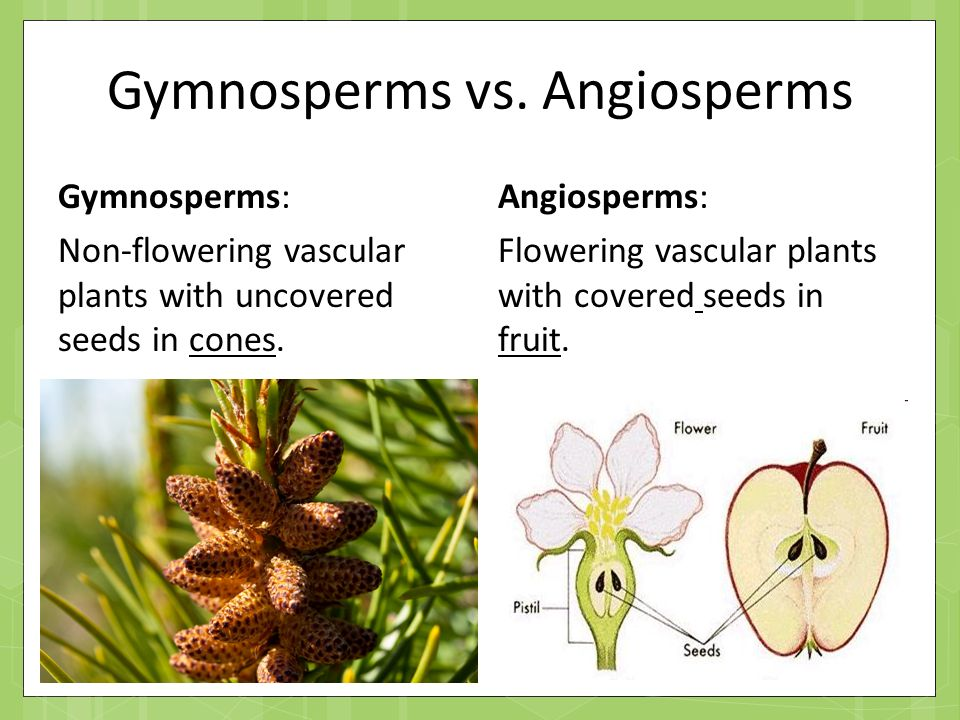 Both gymnosperms and angiosperms bear seeds, then why are they classified separately?