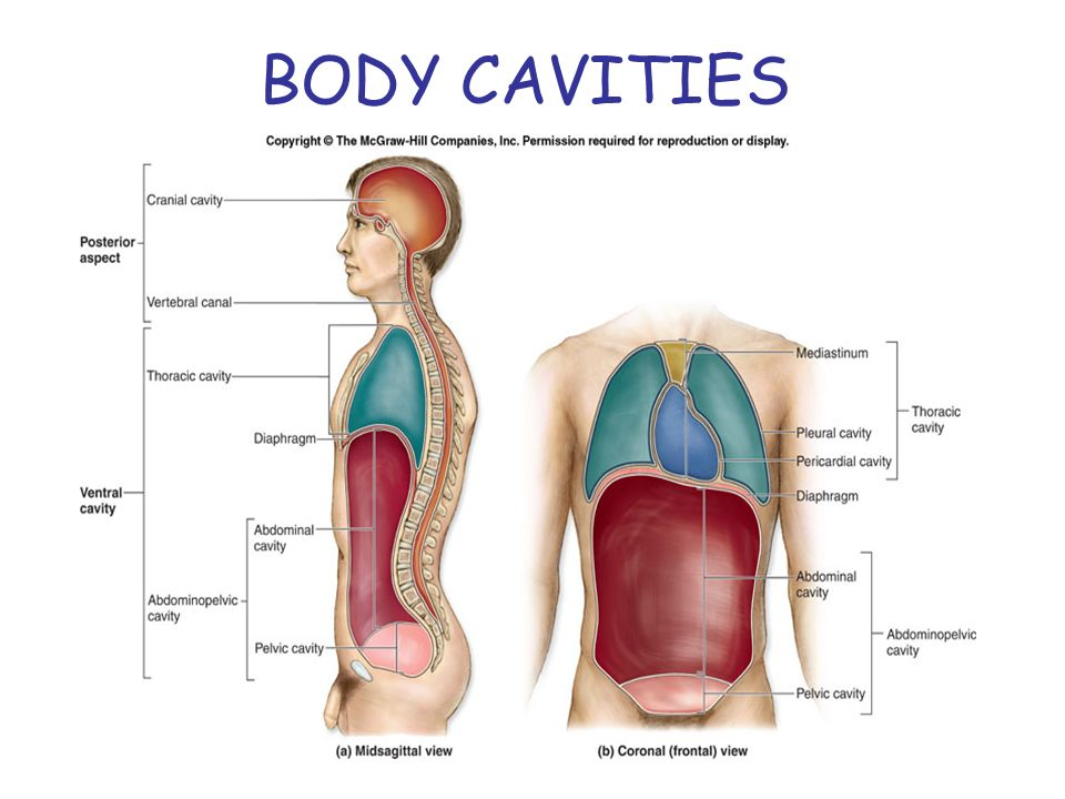 Anatomical Planes & Body Cavities Quiz