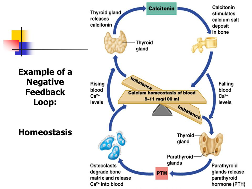 negative feedback loops endocrine system Endocrine systems also use complex positive and negative feedback  mechanisms to control many functions in the body for example, negative  feedback loops.