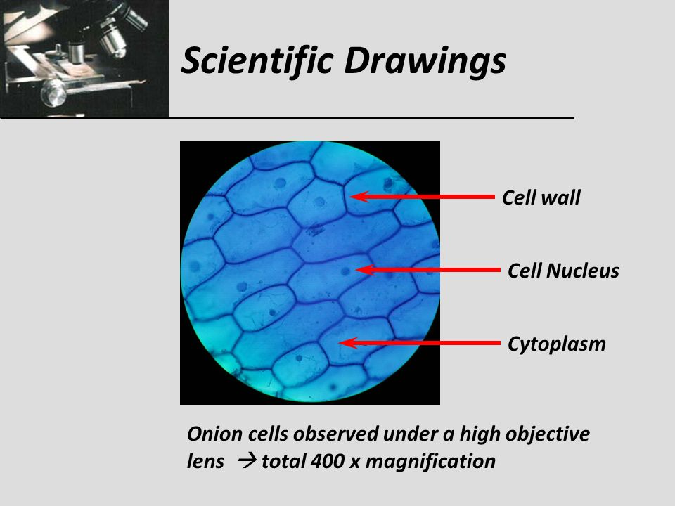 cell wall and magnification factor Yeast cell wall β-glucans exhibit valuable functional  the possibility of using deproteinated potato juice water  light microscope at 600-fold magnification.