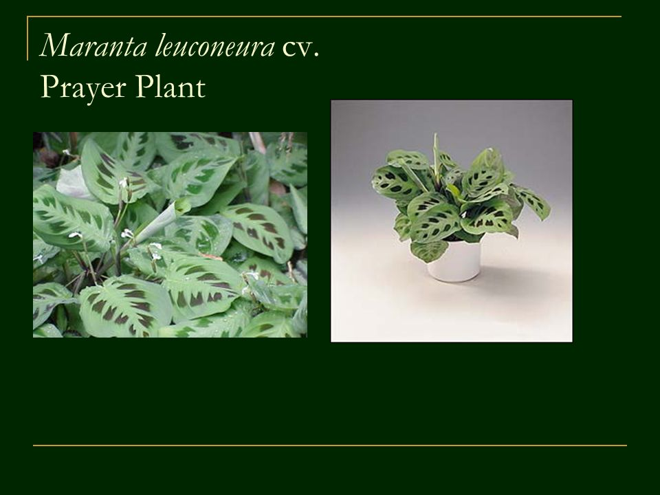 Floriculture cde plant identification ppt video online for Prayer palm plant