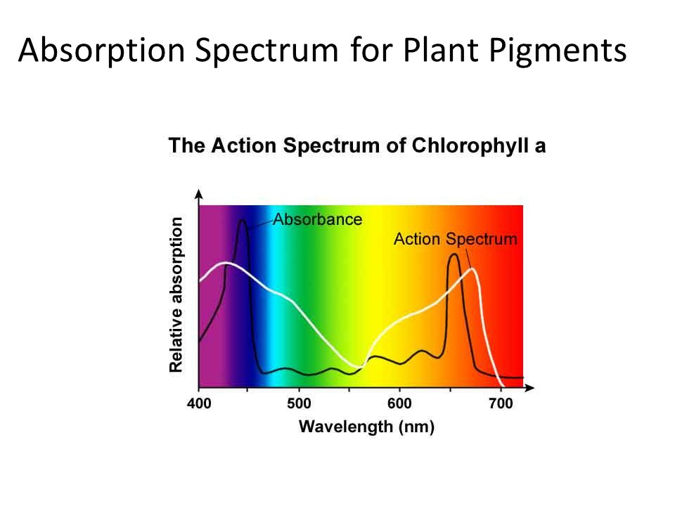 determining the absorption spectrum of leaf pigments Light absorption for photosynthesis photosynthesis depends upon the absorption of light by pigments in the leaves of of the spectrum gives the leaves their.