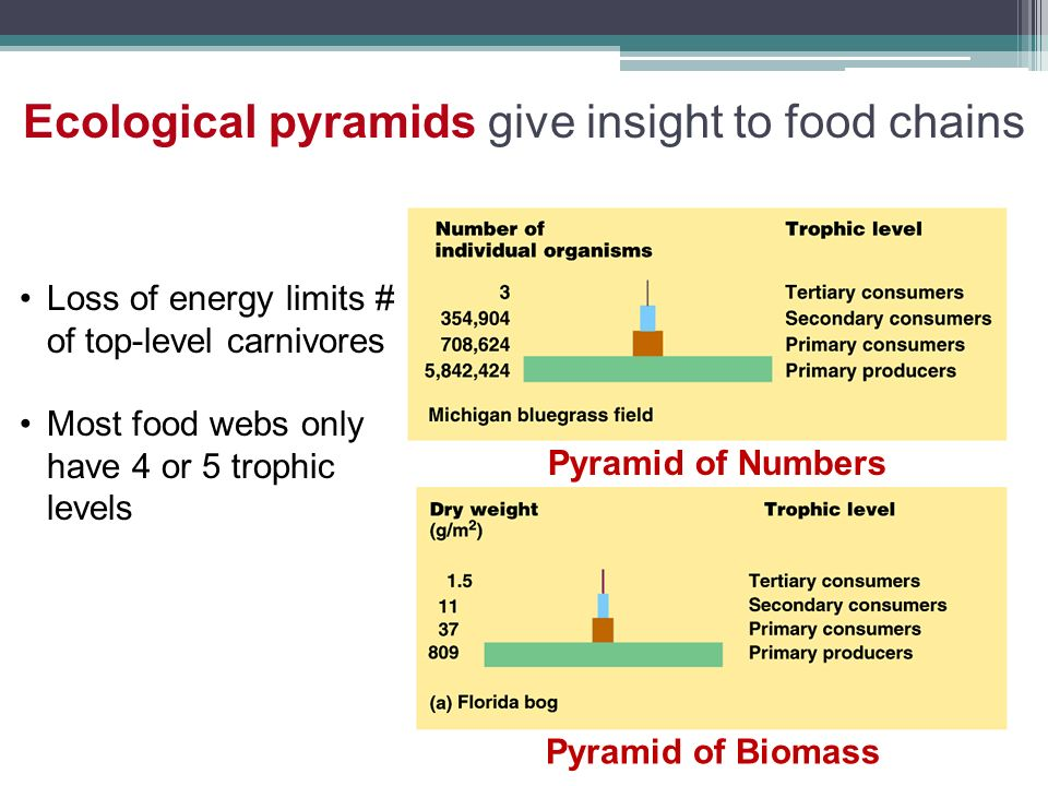 Ecological pyramids give insight to food chains