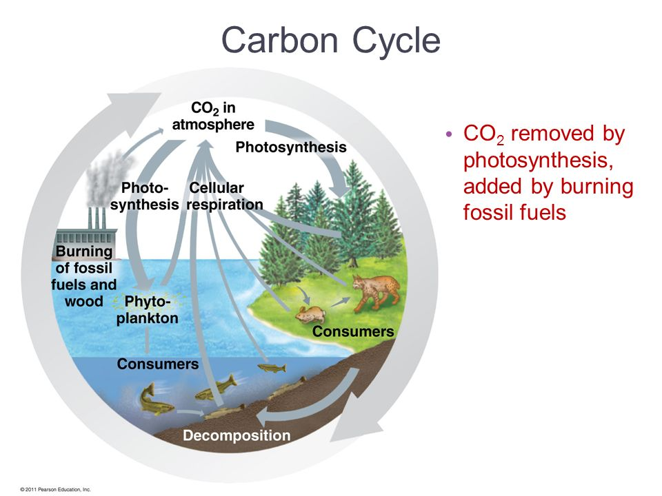 Carbon Cycle CO2 removed by photosynthesis, added by burning fossil fuels