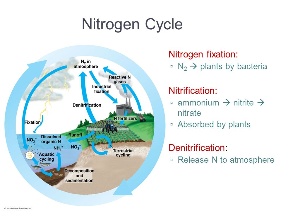 Nitrogen Cycle Nitrogen fixation: Nitrification: Denitrification: