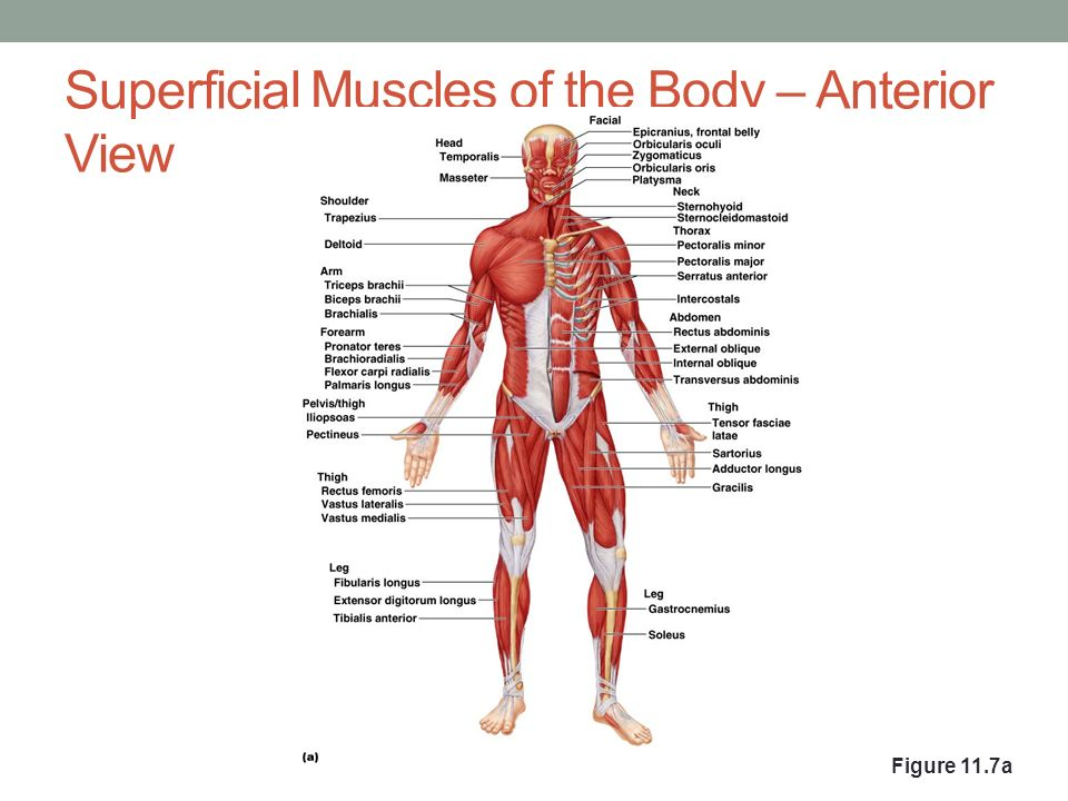 muscles of the head  trunk  shoulder