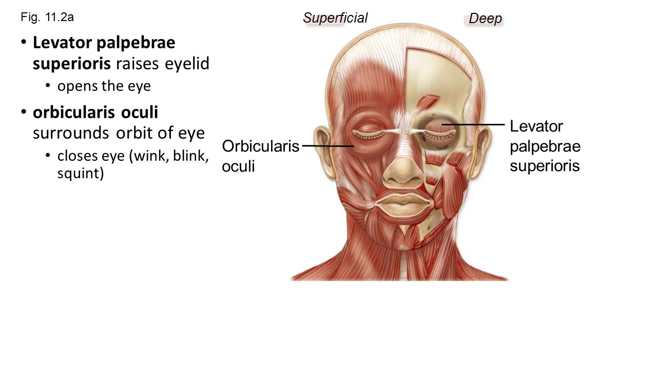 chapter 11, part 1 muscles of the face - ppt video online download, Human Body
