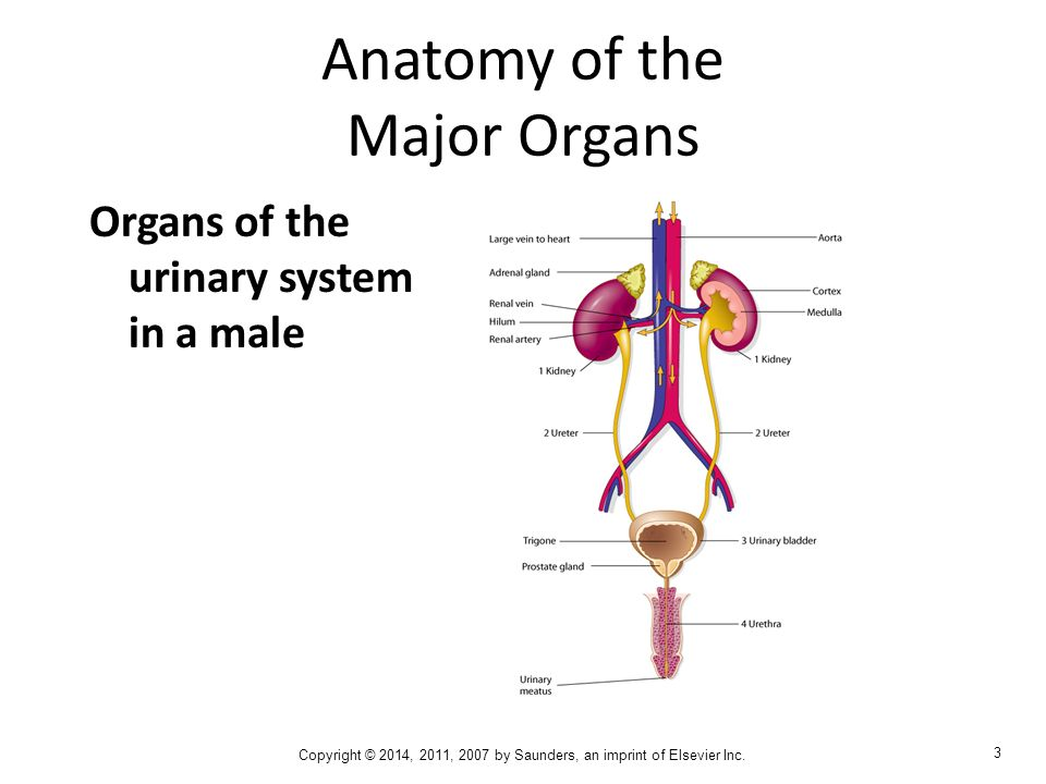 urinary system  ch  7  chapter goals