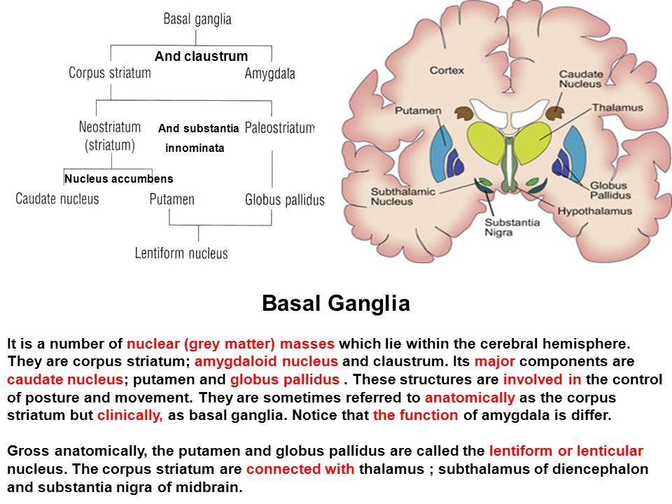 And claustrum and substantia innominata nucleus accumbens ppt and claustrum and substantia innominata nucleus accumbens basal ganglia ccuart Image collections