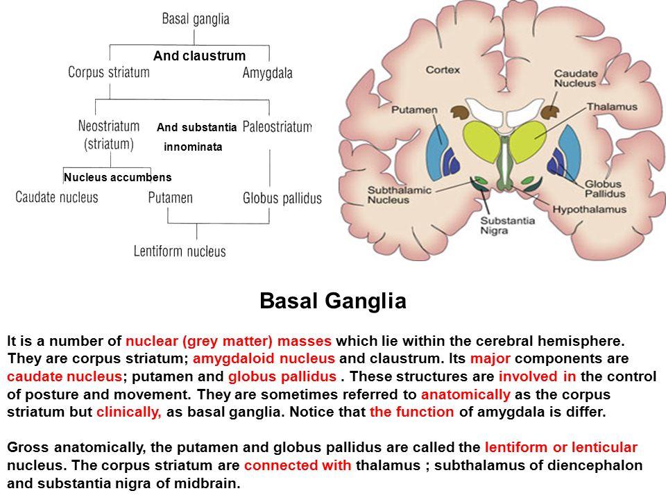 And claustrum and substantia innominata nucleus accumbens ppt and claustrum and substantia innominata nucleus accumbens basal ganglia ccuart Images