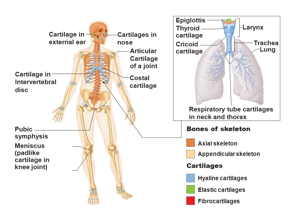 Figure 61 The Bones And Cartilages Of The Human Skeleton Ppt