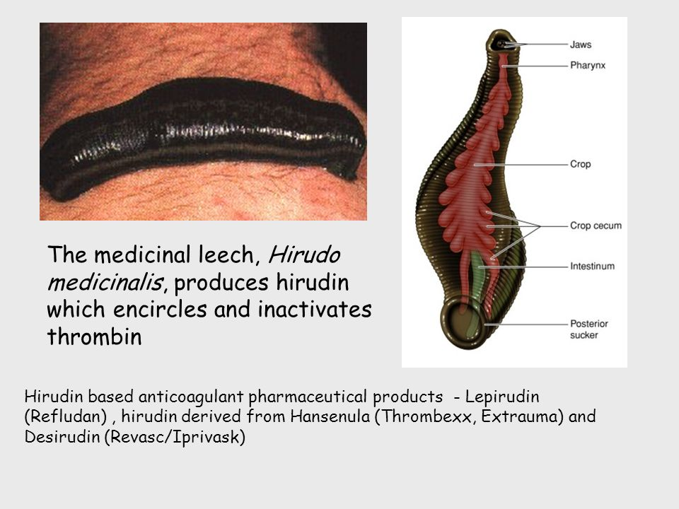 Medicinal Leech Anatomy – images free download - Leeches ...