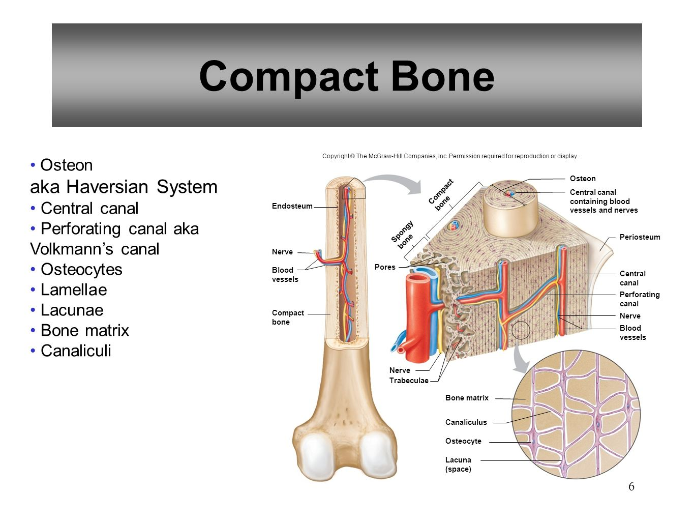 Compact Bone Pictures to Pin on Pinterest - PinsDaddy