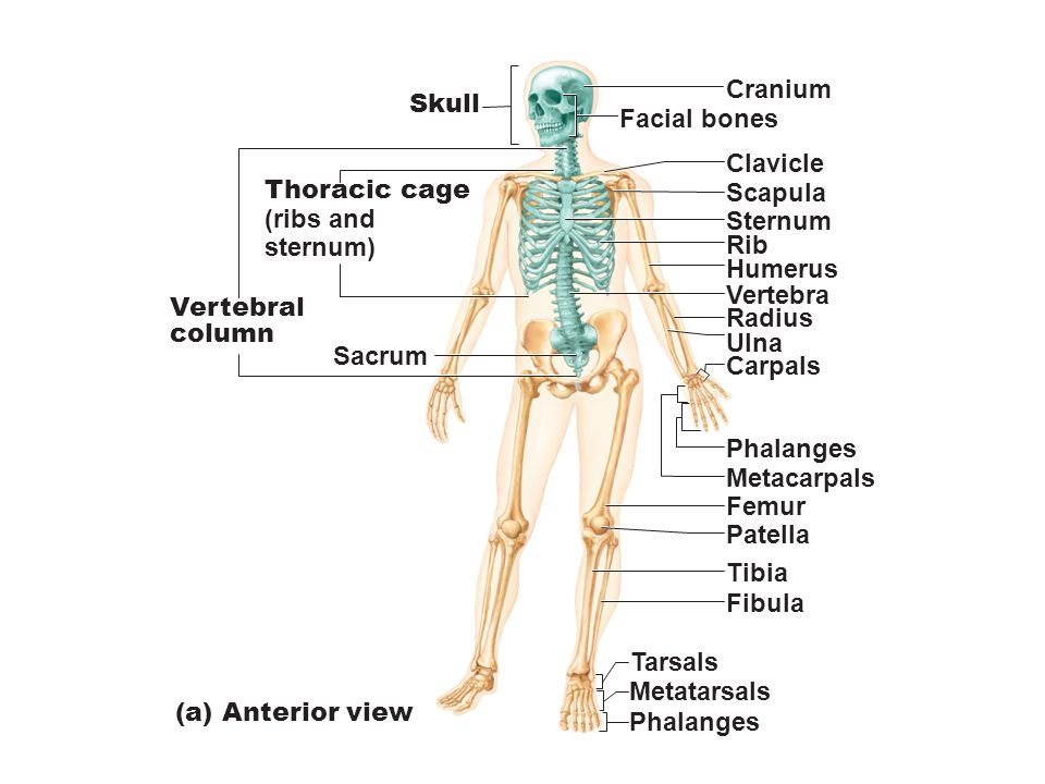 figure 7.1 the human skeleton. - ppt download, Skeleton
